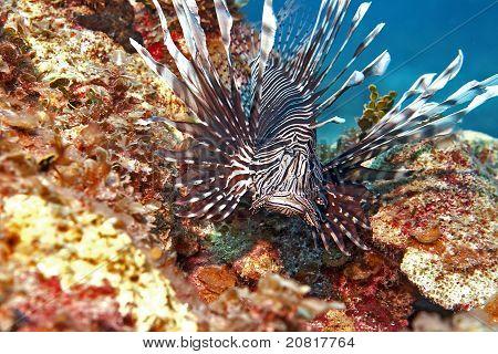 Poisonous fish (Poisonous Beauty)