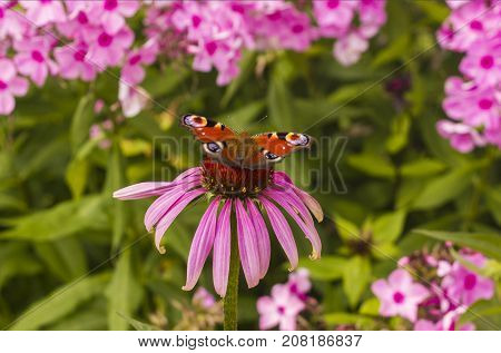 beautiful peacock butterfly posing on purple blossom