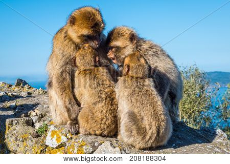 Barbary macaques family talk about the future on the Rock of Gibraltar
