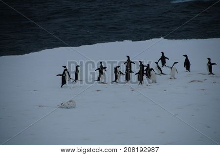 A group of Adelie penuins on top of an ice shelf in the Weddell Sea, near Antarctica.