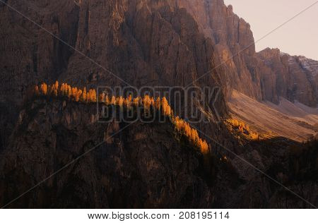 Line of yellow larches on steep of Dolomite mountains backlighted by rising sun Dolomites Italy