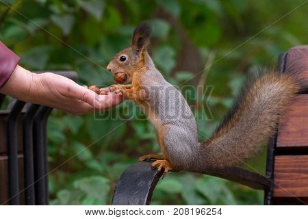 Squirrel eats nuts out of his hand nature autumn