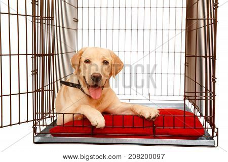 Dog in cage isolated background. Happy labrador lies in an iron box