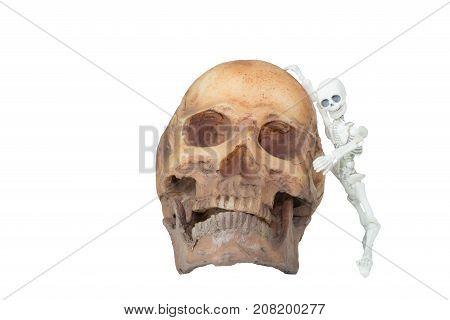 Halloween concept : Plastic human skeleton model leaning against skull model isolated on white background