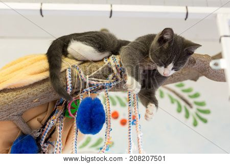 Gray kitten sleeps on a wooden branch dangling its paws down