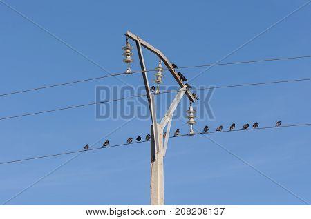 Flock of Spotless Starling Sturnus unicolor perched on a power line. Photo taken in Mesa de Ocaña Toledo Spain