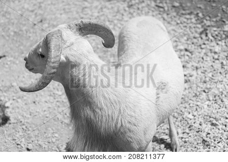 Big Goat On A Country Safari Farm