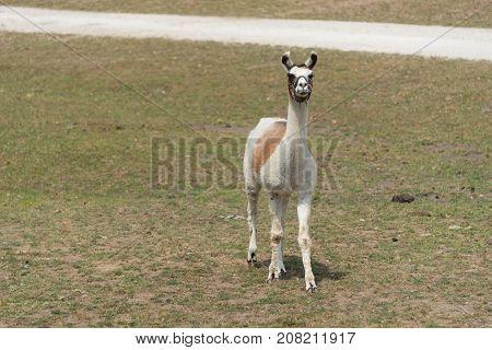 Big Llama On A Country Safari Farm