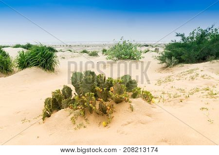 Tajpur sea beach - bay of Bengal India. View of Cactus on sand dunes with blue sky in the background.