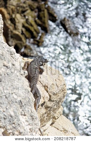 Close-up image of a wild iguana sunbathing on a cliff and blurred ocean in the background.