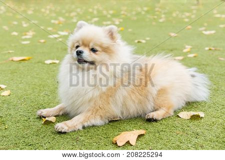 Little dog lying on the grass in the park nature autumn