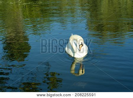 The swan floating on the surface of the water with its head peering looks at the turtle barely visible under the surface of the water