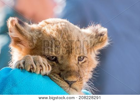 Lion cub sitting and pawing up close up