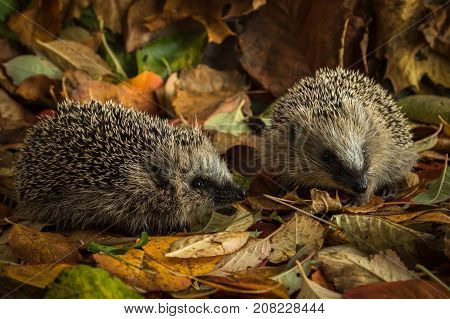 Hedgehogs, Erinaceus europaeus, in autumn leaves, two male juvenile hedgehogs in autumn leaves