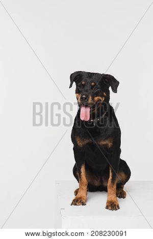 Portrait of a Rottweiler on a white background in the studio. A dog sits on a white cube.