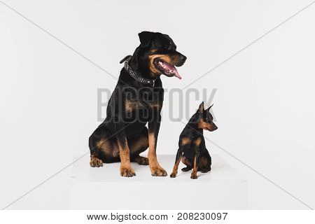 Zwergpinscher and rottweiler on a white background in the studio. Dogs sit on a white cube.