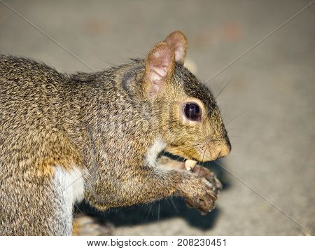 American red squirrel - Tamiasciurus hudsonicus - eating nut