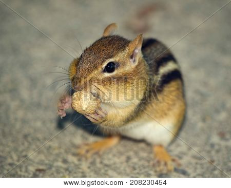 Eastern chipmunk - Tamias striatus - eating peanut