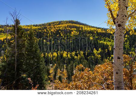 Stunning view of Dixie National Forest in the autumn with Pine trees and Golden Aspens bear Cedar Breaks National Monument in Utah.