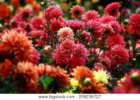 In a flower bed a considerable quantity of flowers dahlias with petals in various tones of red color.