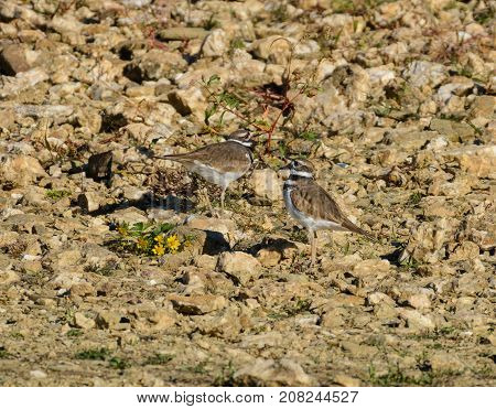 A pair of Kildeer (Charadrius vociferous), a plover, pause while foraging for food on a rocky lakeshore in York County, Pennsylvania, USA.