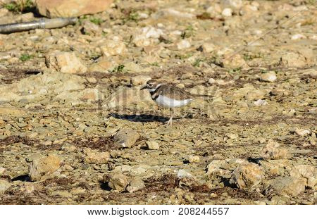 A Kildeer (Charadrius vociferous), a bird of the Plover family, foraging for food on a stony beach on a lake in York County, Pennsylvania