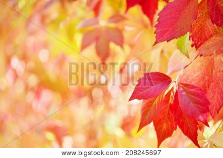 Background from autumn leaves. The red leaves of grapes lit with the sun. A close up selective focus on leaves on the right. The background is intentionally blured at the left.