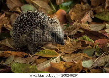 Young hedgehog male in autumn leaves, orange, green and yellow
