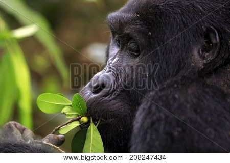 Close-up of a Mountain Gorilla