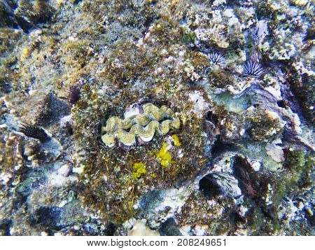 Clam fish in shell. Exotic island shore shallow water. Tropical seashore landscape underwater photo. Coral reef animal. Sea nature. Sea fish in coral. Undersea view of marine life. Coral landscape