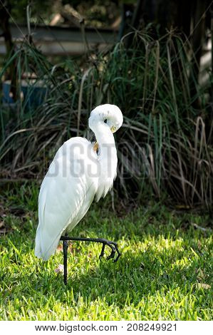 Ornithology and freedom concept. Heron or great egret walking on green grass in Key West USA. Bird with white feathers and yellow beak on natural background. Wildlife and nature.