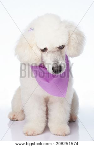 Sitting shy white poodle dog isolated on background