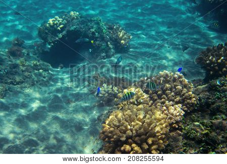 Coral reef in blue sea water. Tropical seashore inhabitants underwater photo. Coral reef animal. Warm sea nature. Colorful sea fish and corals. Undersea view of marine life. Coral reef landscape