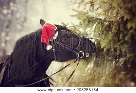 Black horse in a red Santa Claus hat eats fir-tree branches
