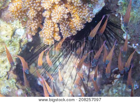 Small fishes and sea urchin. Tropical seashore inhabitants underwater photo. Coral reef animal. Warm sea nature. Colorful sea fish and corals. Undersea view of marine life. Coral reef landscape