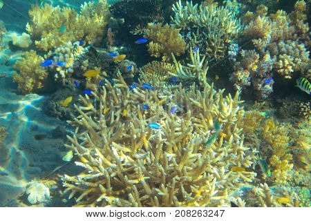 Tropical fish colony in coral. Tropical seashore animal underwater photo. Coral reef animal. Natural aquarium background. Tropic sea fish and coral. Undersea view of marine life. Coral reef landscape