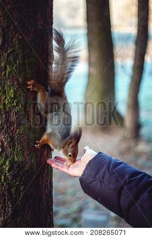 Cute squirrel in forrest, park sits on tree and eats nuts from hand. Selective focus. Close-up.