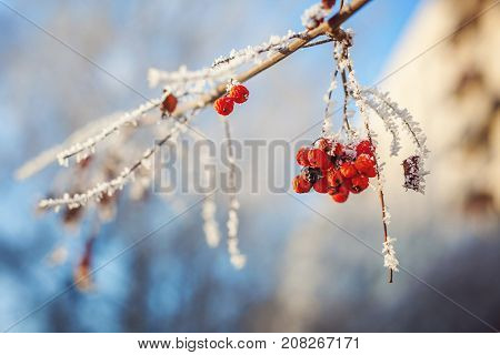 mountain ash on snowy tree branch against the blue sky