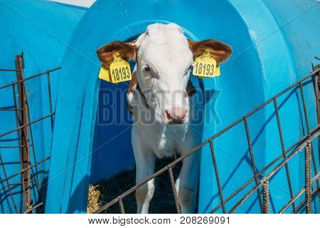 Funny young Calf in livestock farm, calf face, dairy farmland concept