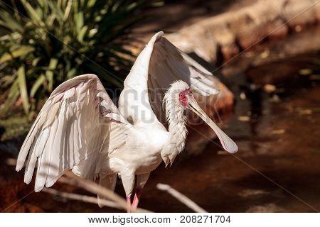 African Spoonbill Called Platalea Alba