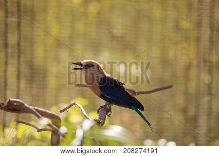 Blue-bellied Roller Called Coracias Cyanogaster