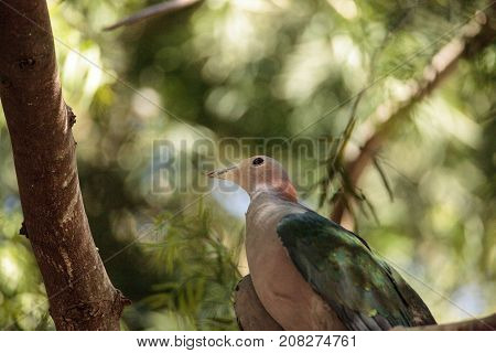 Green Imperial pigeon called Ducula aenea is found in the Sulawesi Islands in Indonesia