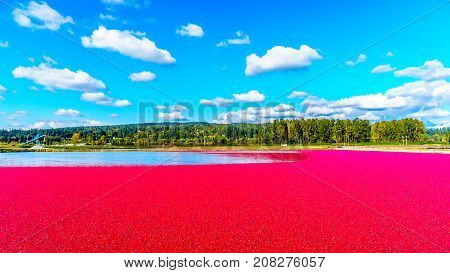 Ripe Cranberries floating in the lagoon during harvest in the Glen Valley area of the Fraser Valley in Southern British Columbia, Canada under blue sky