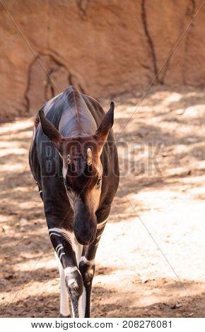 Okapi, Okapia Johnstoni, Live In The Tropical Rainforest
