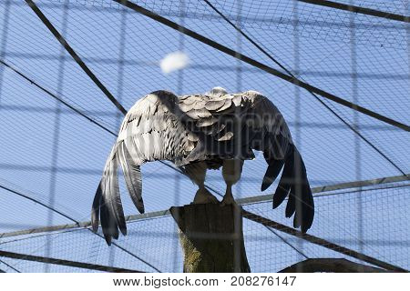 the eagle spread its wings in the cage of the zoo. photo close-up from the back of a bird