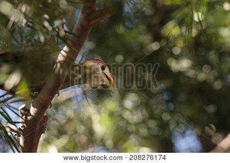 Red-crested Turaco Called Tauraco Erythrolophus