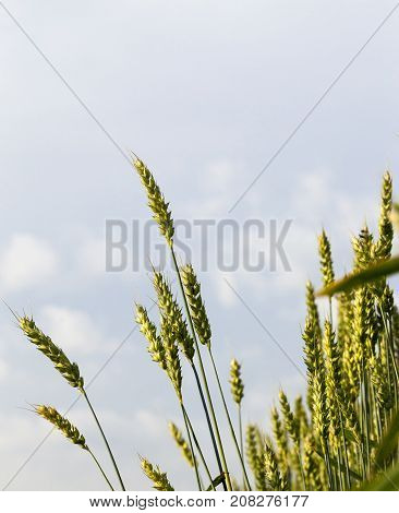 immature green wheat against a blue sky with clouds. photo close-up in spring or summer