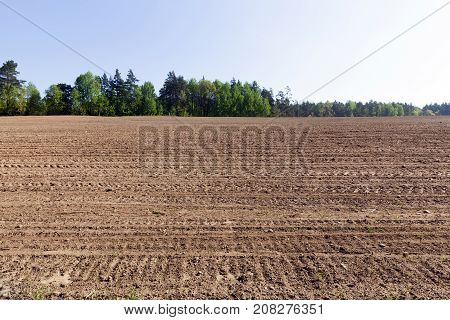 appearance and growth of new green maize sprouts on a plowed agricultural field. photo spring, landscape with blue sky and trees on the horizon