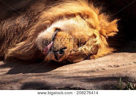 Male African Lion Panthera Leo
