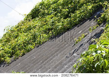 made of slate roof of an old house. roof covered with ivy green, photo close-up in spring or summer